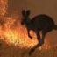 Austrália fogo incendio canguru